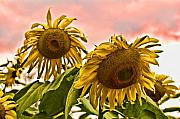 Featured Digital Art Acrylic Prints - Sunflower Art 1 Acrylic Print by Edward Sobuta