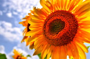 Summer Scenes Metal Prints - Sunflower Attack Metal Print by Emily Stauring