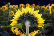 Montgomery Prints - Sunflower Behind Print by Susan Isakson