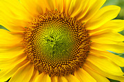 Bright Colors Metal Prints - Sunflower   Metal Print by Benanne Stiens