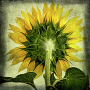 Head Shot Digital Art Prints - Sunflower Print by Bernard Jaubert