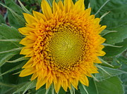 Sunflower Prints Prints - Sunflower Print by Beverly Livingstone