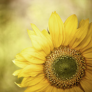 Square Tapestries Textiles - Sunflower Blossom With Bokeh Background by Elisabeth Schmitt