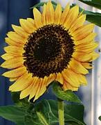 Sunflower Print by Bruce Bley