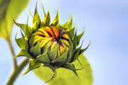 Bright Blue Framed Prints - Sunflower bud Framed Print by John Edwards