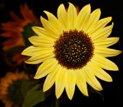 Sunflower Print by Cathie Tyler