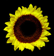 Flower Works Photos - Sunflower. by Chris  Kusik
