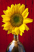 Wooden Metal Prints - Sunflower Close Up Metal Print by Garry Gay
