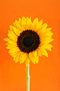 Flower Blooming Photos - Sunflower closeup by Elena Elisseeva