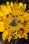 Yellow Bugs Prints - Sunflower covered in ladybugs Print by Garry Gay