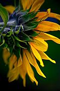 Vibrant Flower Prints - Sunflower Print by Dale Firth