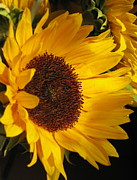 Floral Notecards Posters - Sunflower--Dappled Light Poster by Vikki Bouffard