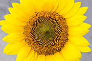 Fragrance Prints - Sunflower Print by David Waldo