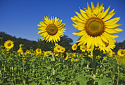Sunflower Print by Dennis Flaherty and Photo Researchers