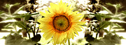 Photography Art Posters - Sunflower Poster by Photography Art