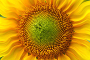 Bright Colors Art - Sunflower Fantasy by Benanne Stiens