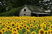 Flowers Sunflowers Barn Prints - Sunflower Field and Barn Print by Tom  Wray