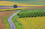 Rural Scene Framed Prints - Sunflower Field And Road Framed Print by Peter Smith Images