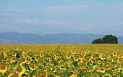 Mountains Art - Sunflower Field by Daniela Duncan