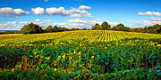 Panoramas Framed Prints - Sunflower field  Framed Print by Emmanuel Panagiotakis