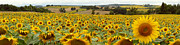 Robert Abramson Art - Sunflower Field Gascony France by Robert Abramson