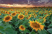 Dusk Photo Posters - Sunflower Field In Longmont, Colorado Poster by Lightvision