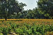 Michael Digital Art Posters - Sunflower Field in the Trees Poster by Michael Thomas