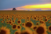 Denver Photo Acrylic Prints - Sunflower Field Acrylic Print by Lightvision, LLC