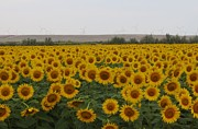 May Leong - Sunflower Field