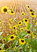 Cornfield Photos - Sunflower fields by Elizabeth Wilson