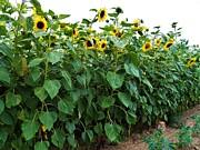 Judy Via-Wolff - Sunflower Fields Forever   Four