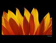Xoanxo Cespon Framed Prints - Sunflower fire Framed Print by Xoanxo Cespon