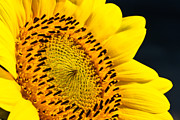 Fragrance Prints - Sunflower Focus Print by David Waldo