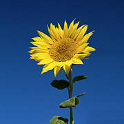Single Flower Posters - Sunflower Poster by Fotografias de Rodolfo Velasco
