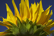 Blossom Acrylic Prints - Sunflower Acrylic Print by Garry Gay