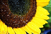 Minnesota Grown Framed Prints - Sunflower Glitter Framed Print by Susan Herber