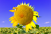 Sunflower Head Print by Volodymyr Chaban