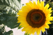 Sunflower II Print by Chuck Kuhn
