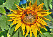 Fragrant Pyrography Prints - Sunflower Print by Imagevixen Photography