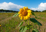 Flevoland Art - Sunflower in a field by Jan Marijs