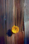 Cracks Prints - Sunflower in barn wood Print by Garry Gay