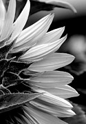 Floral Photographs Posters - Sunflower in Black and White - 2  Poster by Tam Graff