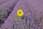 Crowd Scene Art - Sunflower In English Lavender Field,  Valensole, Valensole Plateau, Alpes-de-haute-provence, Provence-alpes-cote D Azur, Provence, France by Martin Ruegner