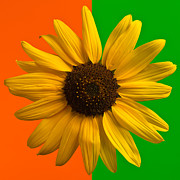 Bright Color Posters - Sunflower In Orange and Green Poster by Steve Gadomski