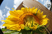 Photograph Tapestries - Textiles Posters - Sunflower In The Breeze Poster by David Houston