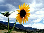 Sunflower In The Rockies With Friends Print by Donna Parlow