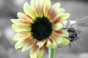 Macro - Sunflower iSplash by Kimberly Gonzales