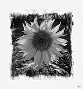 Jeff Breiman - Sunflower
