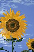 Sunflower Prints Prints - Sunflower Print by Jiji Lee