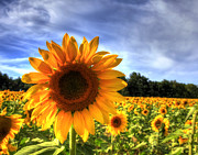 Joe Paniccia - Sunflower